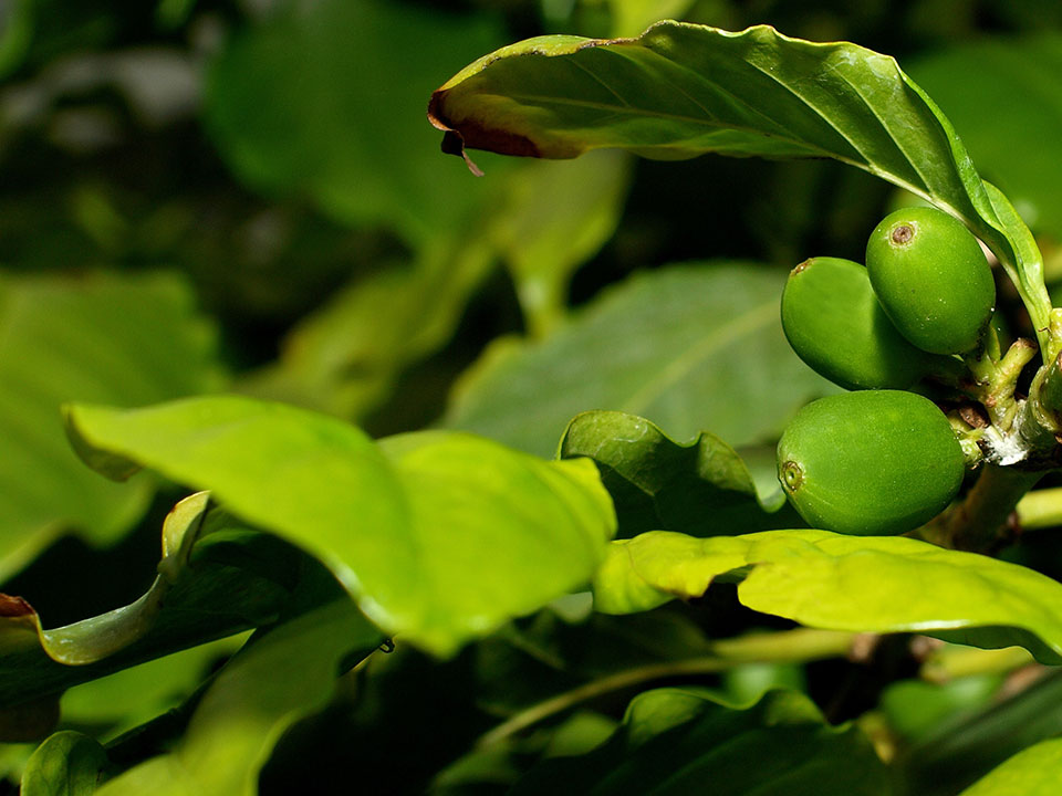 Can You Lose Weight with Green Coffee Extract?