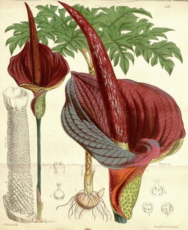 Amorphophallus Konjac & Weight Loss
